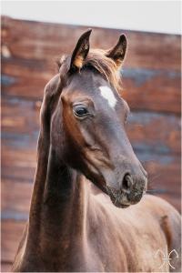Photo cheval a vendre FURST GOLD DE LA GESSE